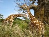 Free Nature Wallpaper : Giraffes