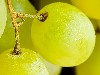 Free Nature Wallpaper : Grapes