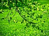 Free Nature Wallpaper : Green Leaves