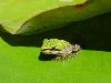Free Nature Wallpaper : Green Little Frog