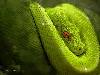 Free Nature Wallpaper : Green Snake