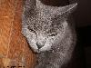 Free Nature Wallpaper : Grey Cat