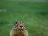 Free Nature Wallpaper : Groundhog