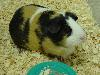 Free Nature Wallpaper : Guinea Pig