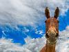 Free Nature Wallpaper : Happy Mule