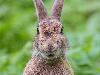 Free Nature Wallpaper : Hare