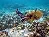 Free Nature Wallpaper : Hawaiian Turtle