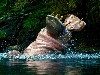 Free Nature Wallpaper : Hippo