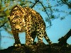 Free Nature Wallpaper : Jaguar