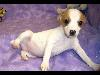 Free Nature Wallpaper : Jack Russell Terrier - Puppy
