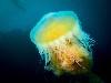 Free Nature Wallpaper : Jellyfish