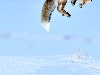 Free Nature Wallpaper : Jumping Fox