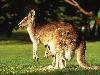 Free Nature Wallpaper : Kangaroo