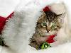 Free Nature Wallpaper : Kitty - Christmas