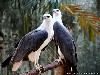 Free Nature Wallpaper : Langkawi Eagles