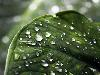Free Nature Wallpaper : Leaf - Drops of Water