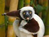 Free Nature Wallpaper : Lemur