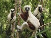 Free Nature Wallpaper : Lemurs