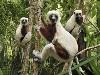 Free Nature Wallpaper : Lemurs