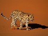 Free Nature Wallpaper : Leopard