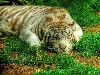 Free Nature Wallpaper : Liger