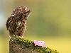 Free Nature Wallpaper : Lil Owl
