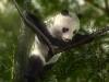 Free Nature Wallpaper : Panda