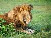 Free Nature Wallpaper : Lion and the Butterfly