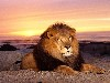 Free Nature Wallpaper : Lion