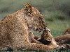 Free Nature Wallpaper : Lioness and Cub