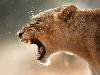 Free Nature Wallpaper : Lioness