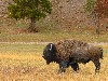 Free Nature Wallpaper : Lone Bison