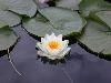 Free Nature Wallpaper : Lotus