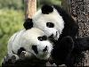 Free Nature Wallpaper : Pandas