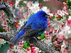 Free Nature Wallpaper : Indigo Bunting