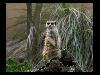 Free Nature Wallpaper : Meerkat
