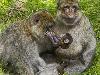 Free Nature Wallpaper : Monkey Family