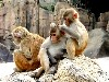 Free Nature Wallpaper : Monkeys