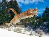 Free Nature Wallpaper : Mountain Lion