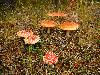 Free Nature Wallpaper : Mushrooms