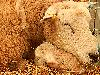 Free Nature Wallpaper : Newborn Lamb