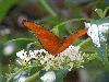 Free Nature Wallpaper : Orange Butterfly