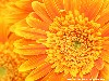 Free Nature Wallpaper : Orange Flower
