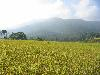 Free Nature Wallpaper : Paddy Field
