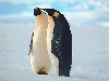 Free Nature Wallpaper : Penguins