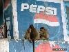 Free Nature Wallpaper : Pepsi Monkeys