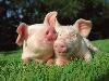 Free Nature Wallpaper : Pigs