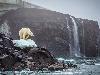 Free Nature Wallpaper : Polar Bear