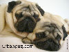 Free Nature Wallpaper : Pugs