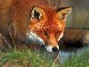 Free Nature Wallpaper : Red Fox